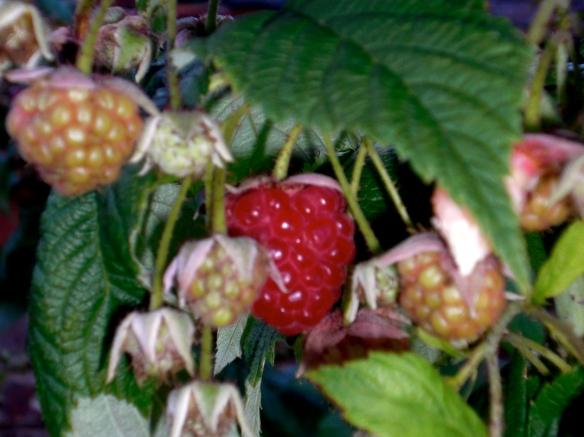 fruit, raspberry, country garden